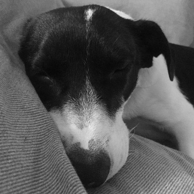 Sonnone !!! MyDog Sleep sleepingpills dog blackandwhite sonnone derekreiver